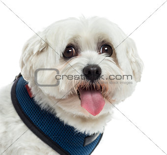 Close up of a Maltese panting, isolated on white