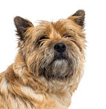 Close up of a Cairn Terrier, isolated on white