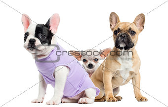 French bulldogs and Chihuahua, isolated on white