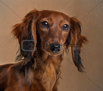 Close up of a Dachshund in front of a brown background