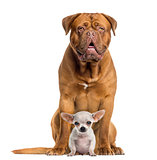 Dogue de Bordeaux and baby Chihuahua sitting, facing, isolated o