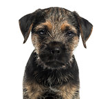 Close-up of a Border Terrier puppy, looking at the camera, isola
