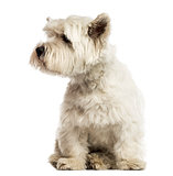 West Highland White Terrier, looking away, isolated on white