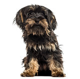 Yorkshire terrier puppy, sitting, facing, isolated on white