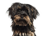 Close-up of a Yorkshire terrier puppy, looking at the camera, is
