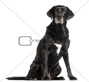 Old dog sitting, isolated on white