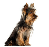 Side view of a Yorkshire terrier sitting, isolated on white