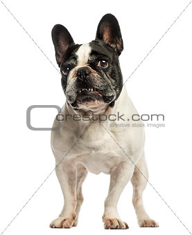 French Bulldog standing, looking up, isolated on white