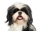 Close-up of a Shi tzu panting, looking at the camera, isolated o