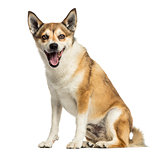 Norwegian Lundehund panting, sitting, isolated on white