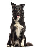Border collie panting, sitting, isolated on white