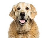 Clsoe-up of a Golden retriever panting, isolated on white