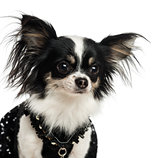 Close-up of a dressed up Chihuahua, isolated on white