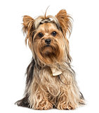 Yorkshire Terrier sitting wearing bows, isolated on white