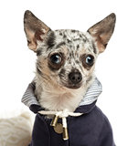 Close-up of a dressed-up Chihuahua, isolated on white
