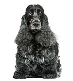 English Cocker Spaniel, sitting, facing, isolated on white