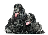 Two English Cocker Spaniel panting next to each other, isolated