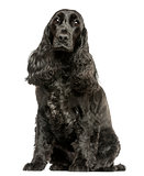 English Cocker Spaniel sitting, looking at the camera, isolated