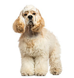 Front view of an American Cocker Spaniel standing, isolated on w