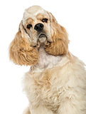 Close-up of an American Cocker Spaniel, isolated on white
