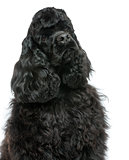 Close-up of an English Cocker Spaniel looking away, isolated on