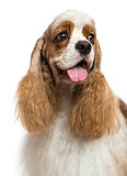 Close-up of an American Cocker Spaniel, looking away, isolated o