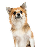 Close-up of a Chihuahua, looking up, isolated on white