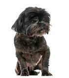 Lhasa Apso sitting, isolated on white