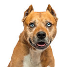 American Staffordshire Terrier, panting, isolated on white