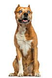 American Staffordshire Terrier sitting, panting, isolated on whi