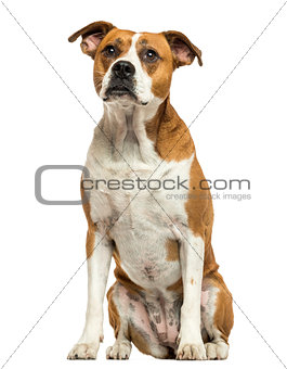 American Bulldog sitting, isolated on white