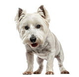 Front view of a West Highland White Terrier looking at the camer