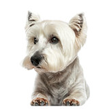 Front view of a West Highland White Terrier lying, isolated on w