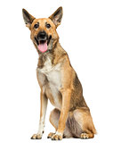 Belgian shepherd panting, sitting, isolated on white