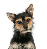 Close-up of a mixed-breed dog  looking at the camera, isolated o