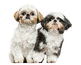 Two Shih Tzus sitting next to each other, looking at the camera,