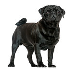 Side view of a Pug standing, isolated on white