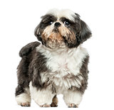 Shi tzu standing, isolated on white