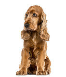 English Cocker Spaniel sitting, looking distrustful, isolated on