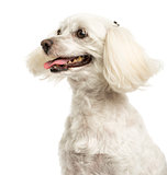 Close-up of a Maltese panting, 5 years old, isolated on white