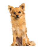 Front view of a Crossbreed dog sitting, 8 months old, isolated o