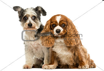 Cavalier King Charles Spaniel with a feather in its mouth and Cr