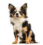Chihuahua sitting, 4 years old, isolated on white
