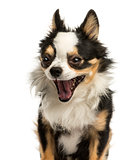 Close-up of a Chihuahua yawning, 4 years old, isolated on white