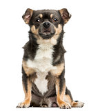 Front view of a Chihuahua sitting, 4 years old, isolated on whit