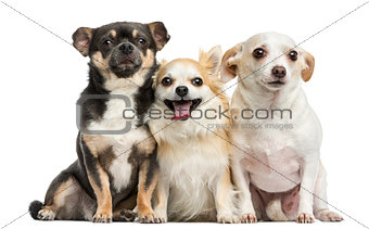 Group of Chihuahuas, isolated on white