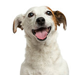 Close-up of a Jack Russell Terrier panting, 6 years old, isolate