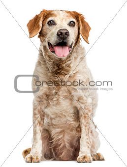Old Brittany dog with eye cysts, panting, 12 years old, isolated