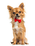 Front view of a Chihuahua wearing a bow tie, sitting, 11 months