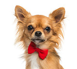 Close-up of a Chihuahua wearing a bow tie, 11 months old, isolat